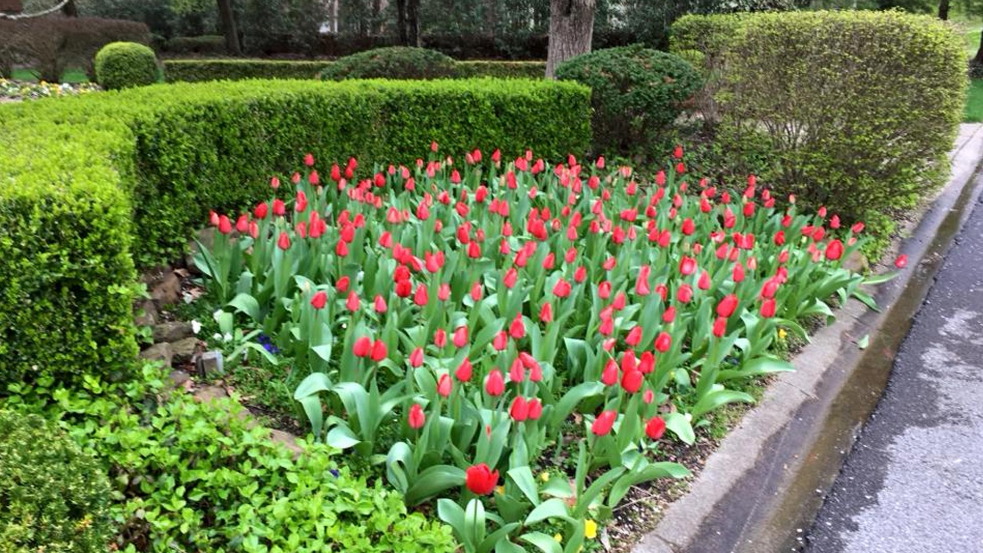 Landscaping that was recently planted with fully bloomed tulips in Mayfield, KY.